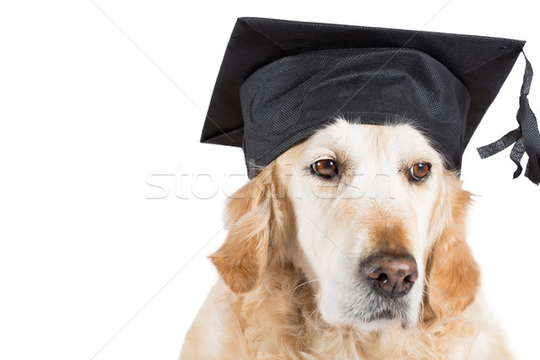 Golden Retriever with graduation cap Stock photo © fotoedu
