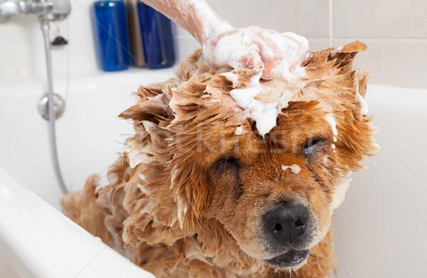 Bathroom to a dog chow chow Stock photo © fotoedu