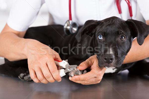 Veterinario perro americano veterinario sonrisa médico Foto stock © fotoedu