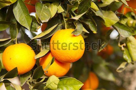 Valencia narancs fák tipikus Spanyolország fa Stock fotó © fotoedu