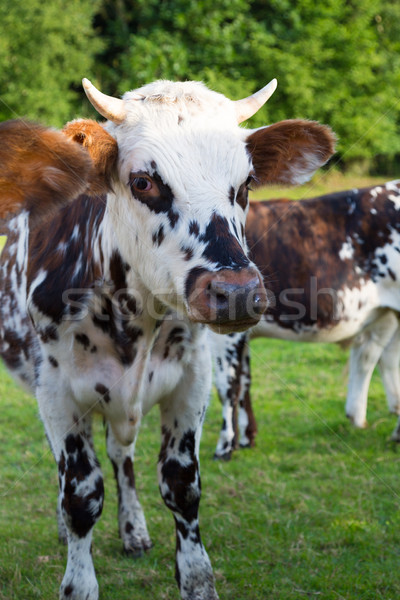 Stock photo: Norman cow in the field