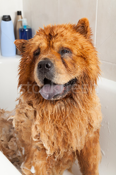 Stock photo: Bathroom to a dog chow chow