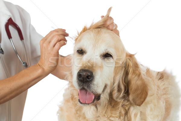 Veterinario clínica veterinario realizar limpieza orejas Foto stock © fotoedu