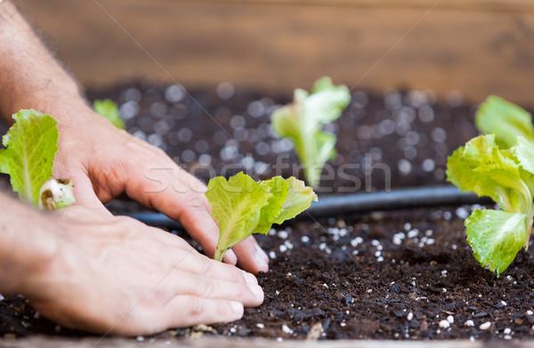Small lettuce garden Stock photo © fotoedu