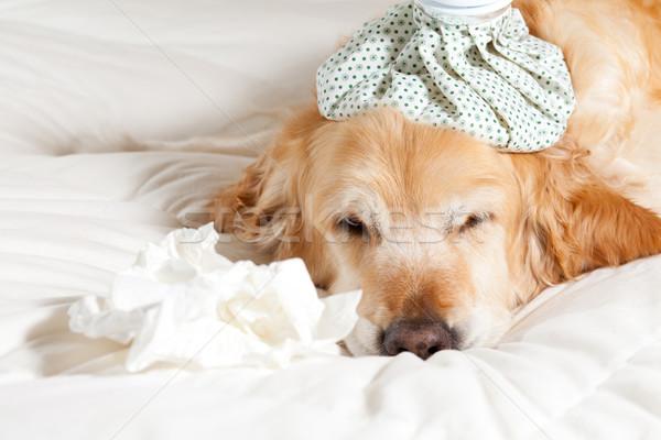 Dog with flu Stock photo © fotoedu