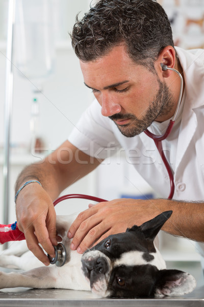 By listening to a dog Veterinary bulldog French Stock photo © fotoedu