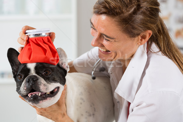 French Bulldog with a cold in the clinic Stock photo © fotoedu