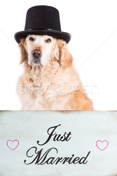 Golden Retriever with poster newlyweds Stock photo © fotoedu