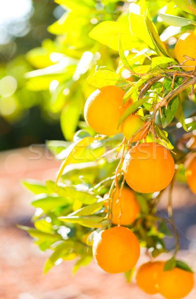 Valência laranja árvores típico Espanha comida Foto stock © fotoedu