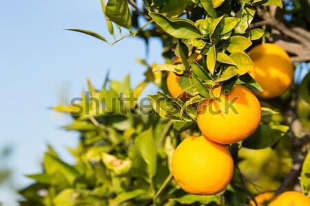 Valencia orange trees Stock photo © fotoedu