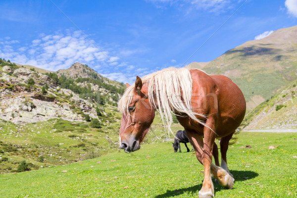 Wild horse grazing Stock photo © fotoedu