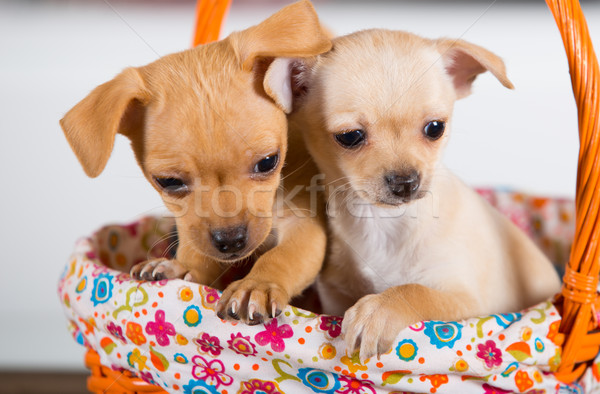 Stock photo: Two chihuahuas puppies in a basket