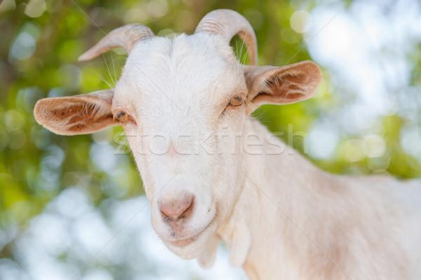 Cabra típico cabeça animal fechar Foto stock © fotoedu