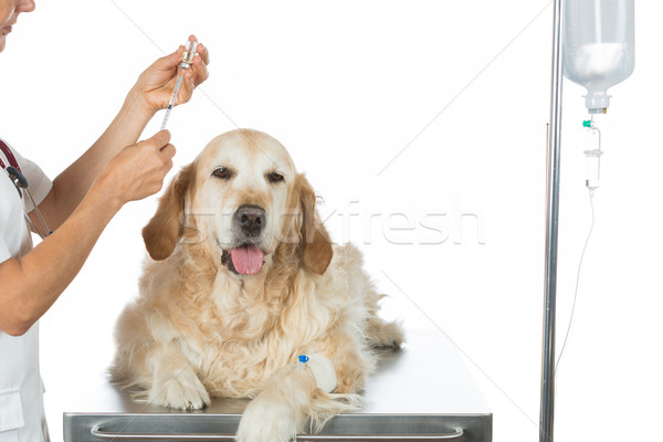 By listening to a dog Veterinary Golden Stock photo © fotoedu