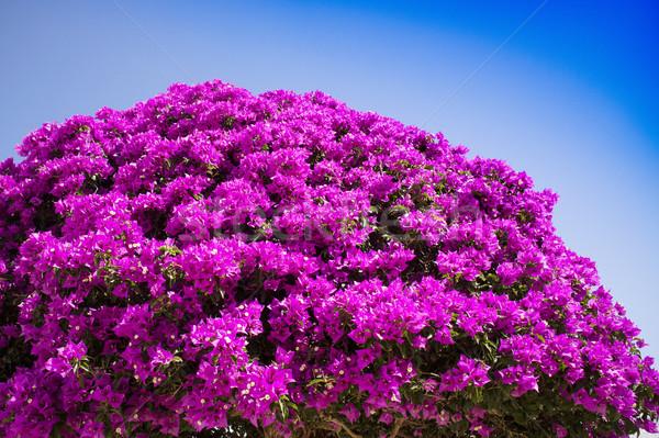 цветения дерево полный лет сезон цветок Сток-фото © Fotografiche