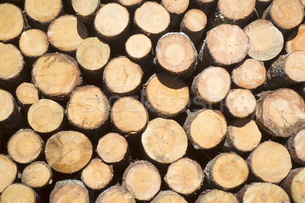 çam ağaçlar çam ağacı hazır Stok fotoğraf © Fotografiche