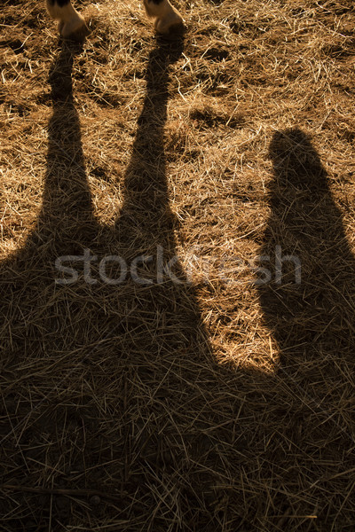 Sombra caballo tierra tarde tarde deporte Foto stock © Fotografiche