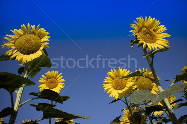 The yellow flower of the sunflower Stock photo © Fotografiche