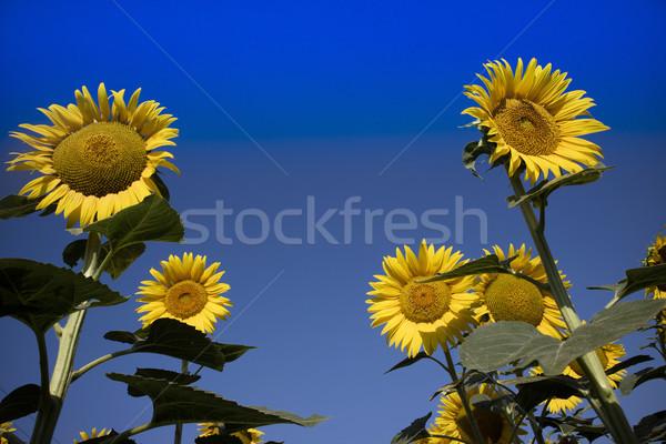 黄色の花 ヒマワリ 青空 花 夏 フィールド ストックフォト © Fotografiche
