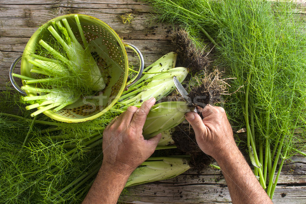 Preparation of fennel Stock photo © Fotografiche