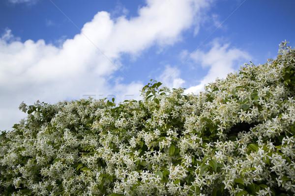 Blanche fleur vue fond couleur clôture Photo stock © Fotografiche