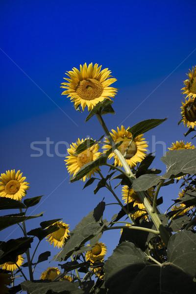 желтый цветок подсолнечника Blue Sky цветок лет области Сток-фото © Fotografiche