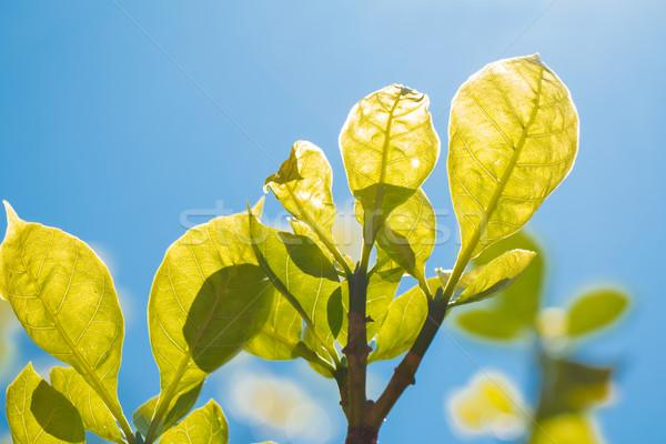 小さな 葉 春 森林 緑 ストックフォト © fotoquique