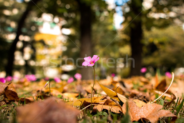 Oxalis rubra flower between autumn leaves Stock photo © fotoquique
