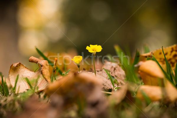 Oxalis rubra flower between autumn leaves Stock photo © fotoquique