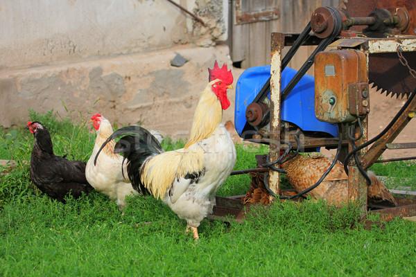 Boerderijdieren Oost Europa tonen haan Stockfoto © fotorobs