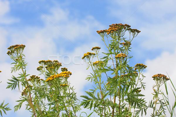 Bloemen blauwe hemel zomer dag hemel natuur Stockfoto © fotorobs