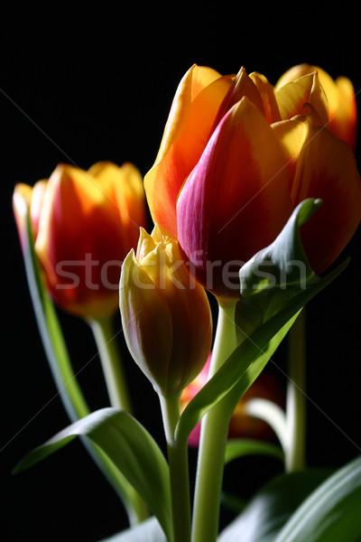 Tulpen studio boeket kleurrijk donkere voorjaar Stockfoto © fotorobs