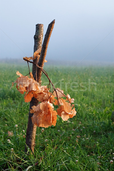 Oak bough Stock photo © fotorobs