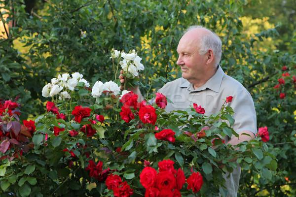 Rozen oude man steeg bush mooie tuin Stockfoto © fotorobs