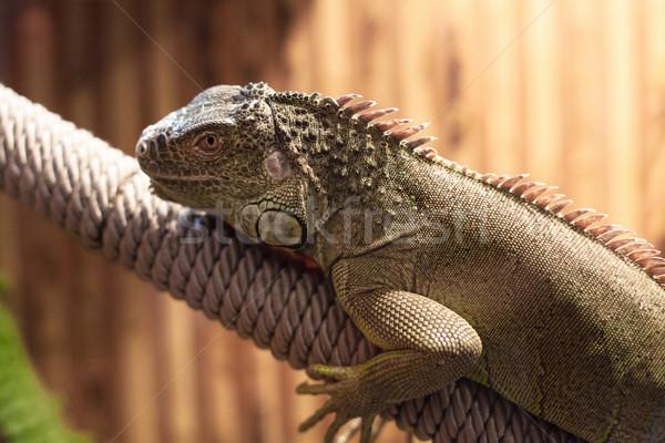 Photo of big lizard Stock photo © FotoVika