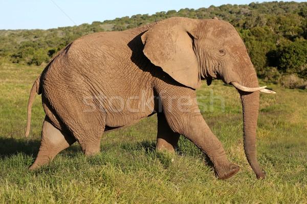 Elefante africano toro grande masculina caminando verde Foto stock © fouroaks