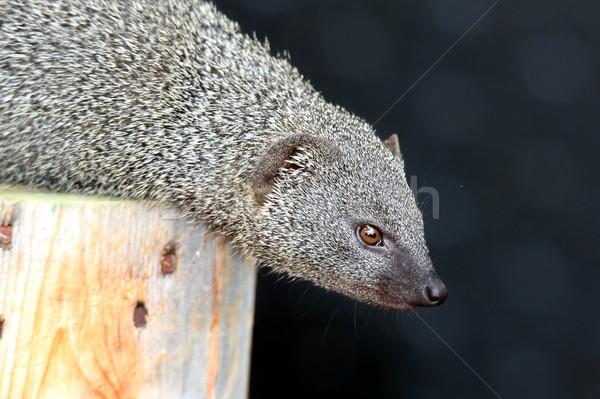 Gri sevimli hayvan üst ağaç gözler Stok fotoğraf © fouroaks
