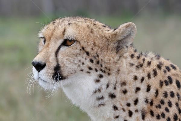 Guépard portrait élégant sauvage chat nature Photo stock © fouroaks