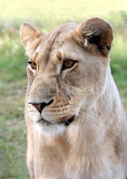 Lioness Portrait Stock photo © fouroaks