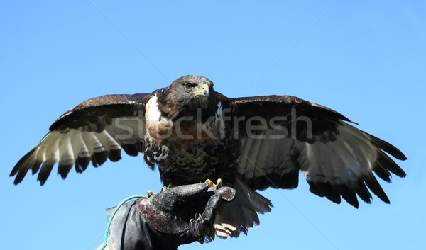 Jackal Buzzard Bird of Prey Stock photo © fouroaks