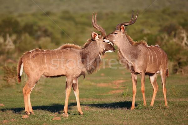 Kudu Antelope Meeting Stock photo © fouroaks