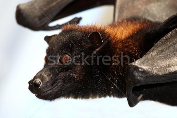 飛行 キツネ バット フルーツ ブラウン 毛皮 ストックフォト © fouroaks