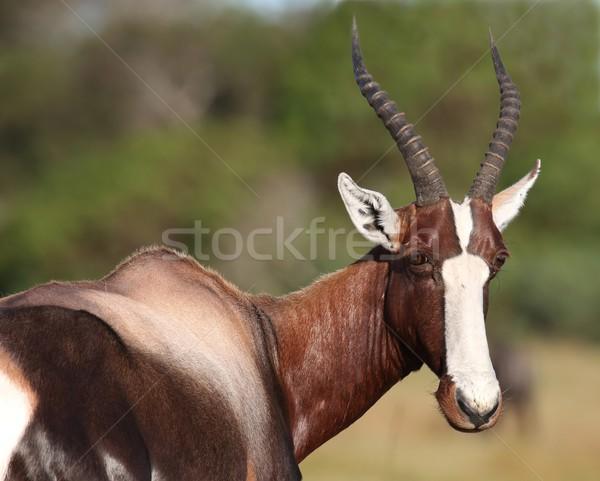 Bontebok Antelope Portrait Stock photo © fouroaks
