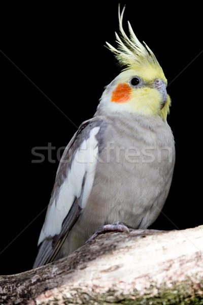 鳥 オレンジ 頬 パッチ 羽毛 美 ストックフォト © fouroaks