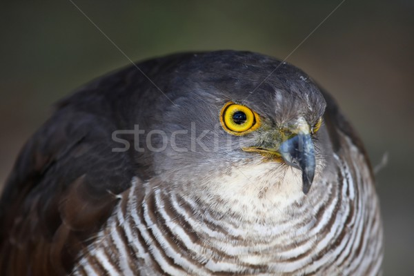 African Goshawk Bird Stock photo © fouroaks