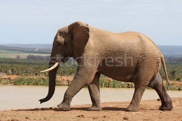 African Elephant in Musth Stock photo © fouroaks