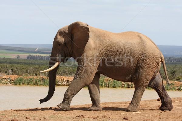 Elefante africano grande urina glândula água natureza Foto stock © fouroaks