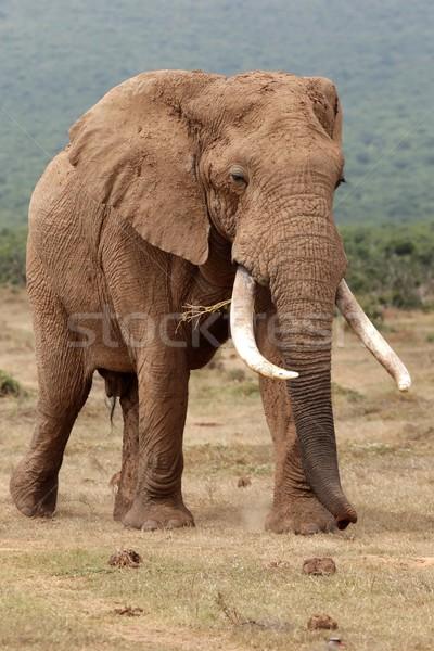 Afrikai elefánt bika hatalmas férfi göndör nagy Stock fotó © fouroaks