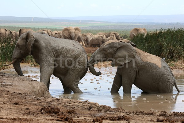 Stock fotó: Elefánt · sár · fürdőkád · afrikai · elefántok · hűtés