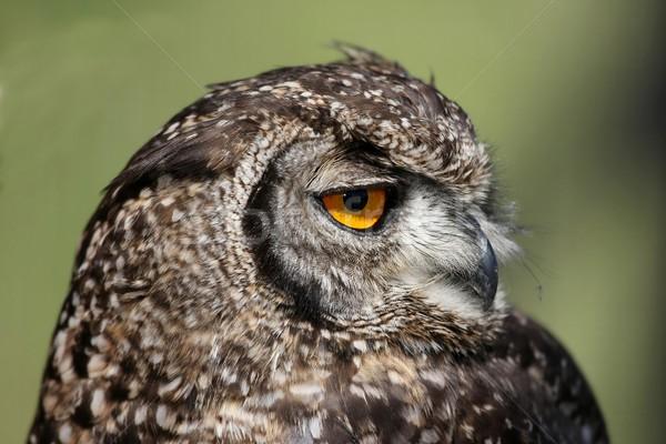Oehoe portret groot Geel oog gezicht Stockfoto © fouroaks
